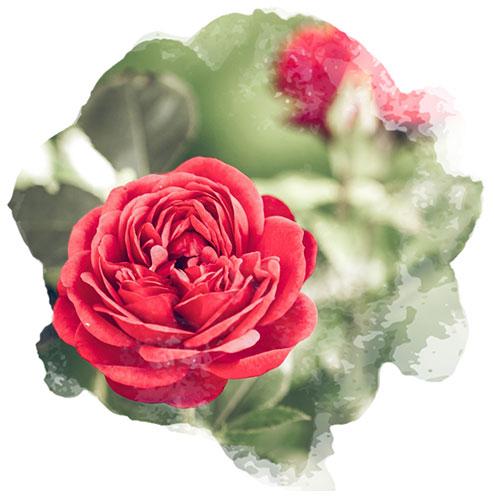 Des fleurs au jardin pour la Saint-Valentin - Nortene