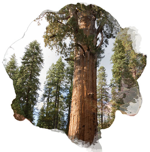 Le General Sherman en Californie