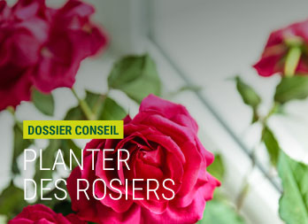 Plantation rosier : quand les planter ?