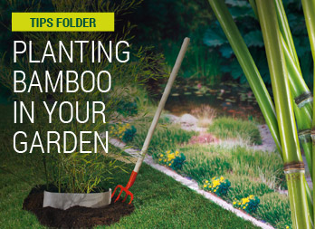 Planting bamboo in your garden