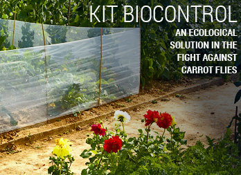 An ecological solution in the fight against carrot flies.
