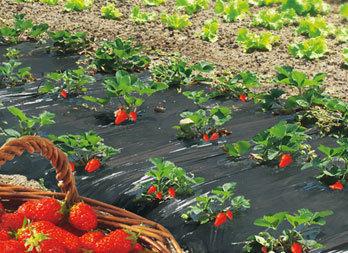 c9b525badf Film de paillage spécial fraises - Nortene